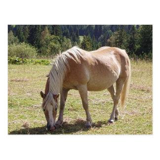 Haflinger Palomino-Pony im grünen Weiden-Foto Postkarte