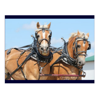Haflinger Pferde Postkarten