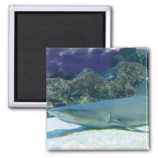 Haifische im Korallenriff-Magneten Quadratischer Magnet