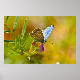 Hallo Frühlings-blauer Schmetterling auf ewig Poster