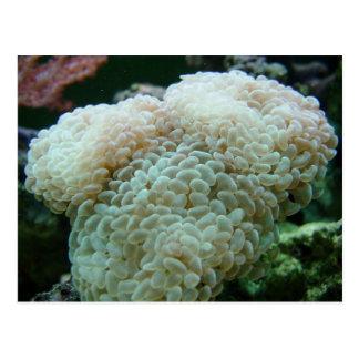 Hammer-Koralle Postkarte