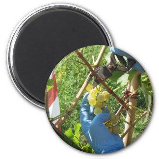 Hand, die weiße Trauben, Erntezeit schneidet Runder Magnet 5,1 Cm