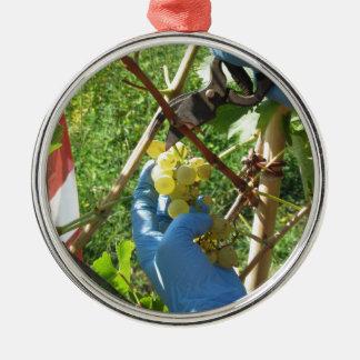 Hand, die weiße Trauben, Erntezeit schneidet Silbernes Ornament