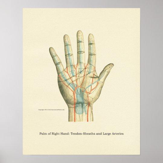 Hand-u. Handgelenk-internes Anatomie-Plakat Poster | Zazzle