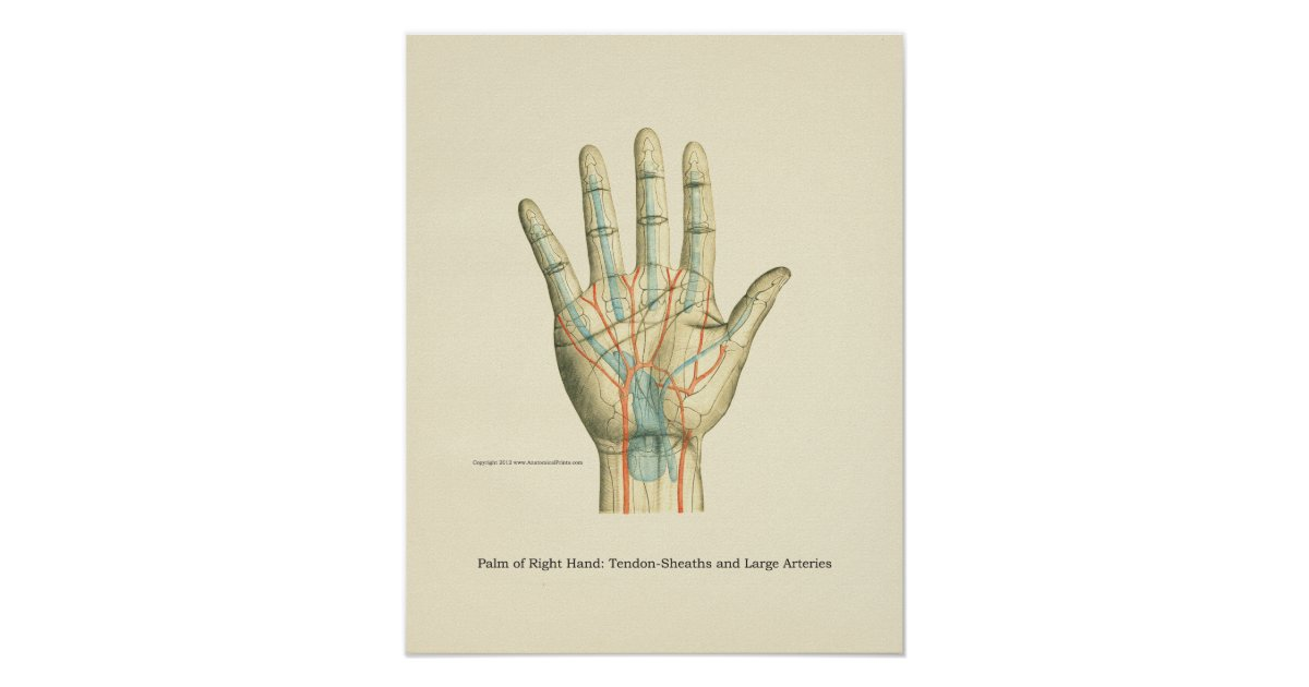 Hand-u. Handgelenk-internes Anatomie-Plakat Poster   Zazzle