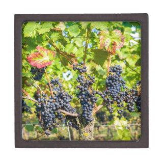 Hängende blaue Traubenbündel im Weinberg Kiste