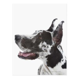 Harlekin-Deutsche Dogge Postkarte
