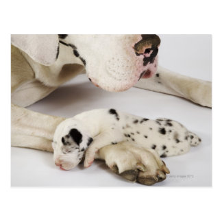 Harlekin-Doggewelpe, der auf Mutter schläft Postkarte