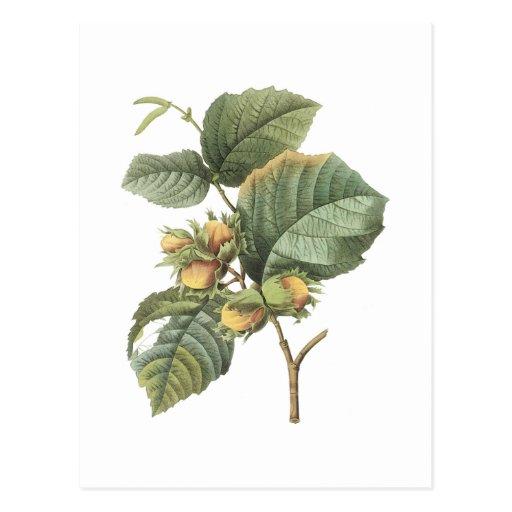 Haselnuss (Corylusmaxima) durch Redouté Postkarten