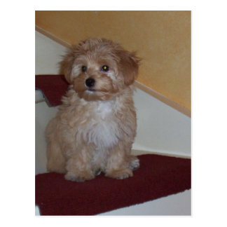 havanese puppy.png postkarte
