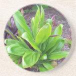 Hawaii-viel Glück-Pflanze