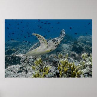 Hawksbill Meeresschildkröte-Schwimmen Poster