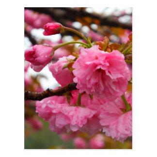 Heißes Rosa-Kirschblüten-Blumen Postkarte