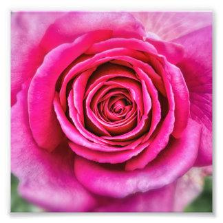 Heißes Rosa-Rose Photo