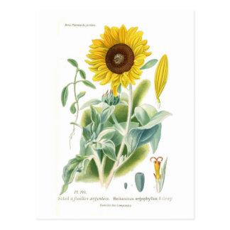 Helianthus argophyllus postkarte