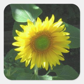 Heller gelber Sonnenblume-Aufkleber Quadratischer Aufkleber