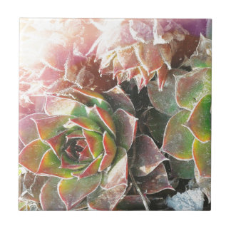 Henne-und Küken-Pflanzen, Succulents, Fliese