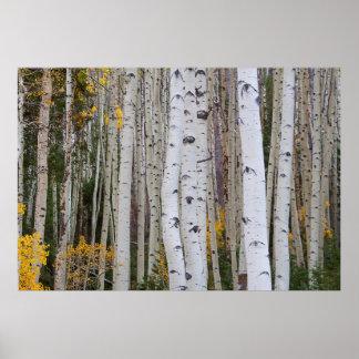 Herbst im Aspens Poster
