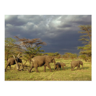 Herde des afrikanischen Elefanten, Loxodonta Postkarte