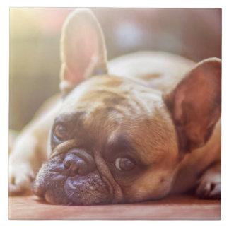 Herrliche französische Bulldogge, die sich hinlegt Fliese