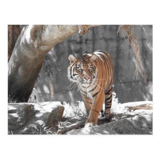 Herumstreichender Tiger Postkarte