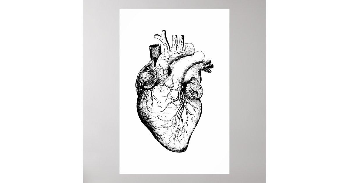 Herz-Anatomie-Illustrations-Plakat Poster | Zazzle