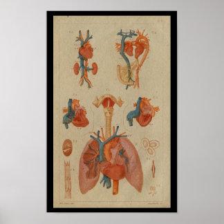 Herz-Lunge-Vintager menschlicher Anatomie-Druck Poster