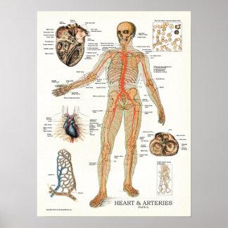Herz-und Arterien-menschliches Anatomie-Plakat 18 Poster