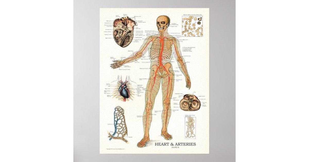 Herz-und Arterien-menschliches Anatomie-Plakat 18 Poster | Zazzle