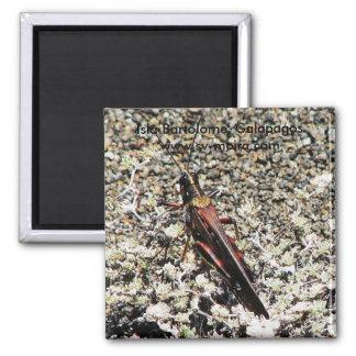 Heuschrecke, Isla Bartolome, Galapagos Quadratischer Magnet