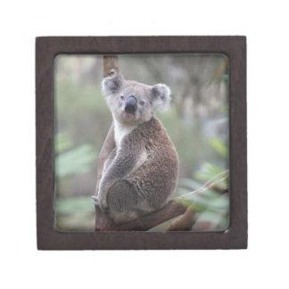 Hinterlandbuschbaum-Waldaufstieg des Koalabären Schmuckkiste