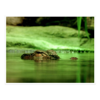 Hinterlistiger Alligator mit Postkarte
