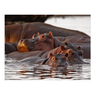 Hippopotamus, Hippopotamus amphibius, See Postkarte
