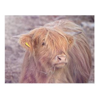 Hochland-Kuh, Hochland-Vieh Postkarten