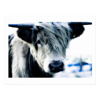 Hochland-Kuh Postkarte