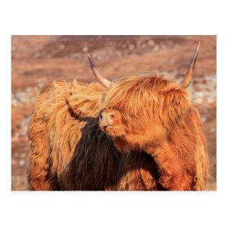Hochland-Kuh-Postkarte Postkarte
