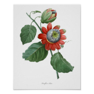 HOCHWERTIGSTER botanischer Druck der Passionsblume Poster