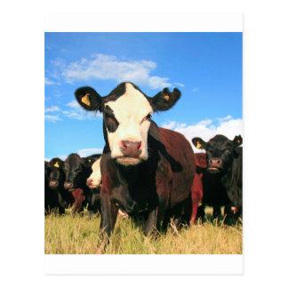 Holstein-Kuh Postkarte