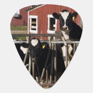 Holsteiner Rinder am sumpfigen Wiesen-Bauernhof in Plektron