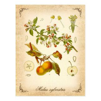 Holzapfel - Vintage Illustration Postkarte