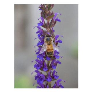 Honig-Biene auf Salvia Postkarte