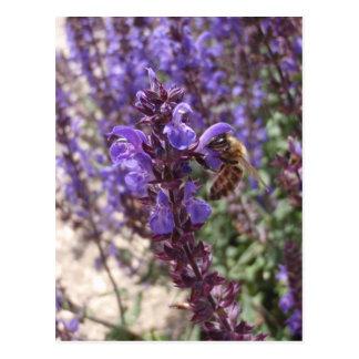 Honig-Biene auf Waldsalbei Postkarte