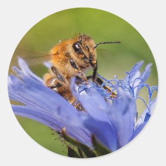 Honigbiene auf dem blühenden Radicchio Runder Aufkleber