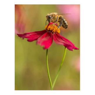 Honigbiene auf einer Coreopsis-Blume Postkarte