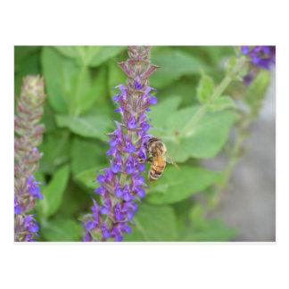 Honigbiene auf Salvia Officinalis Postkarte