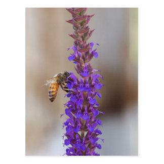 Honigbiene auf Salvia Postkarte
