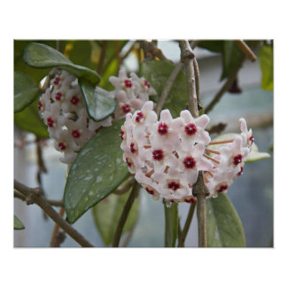 Hoya-Pflanze mit Blumen Poster