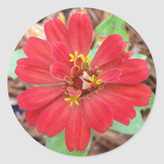 Hübsch im runden Aufkleber des roten Zinnia,