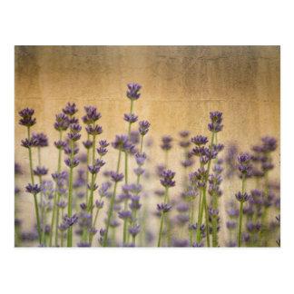 Hübsche Lavendel-Blumen Postkarte