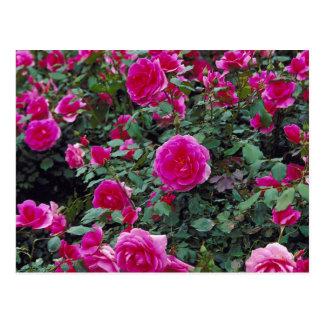 Hübsche rosa Rosen auf Busch Postkarte
